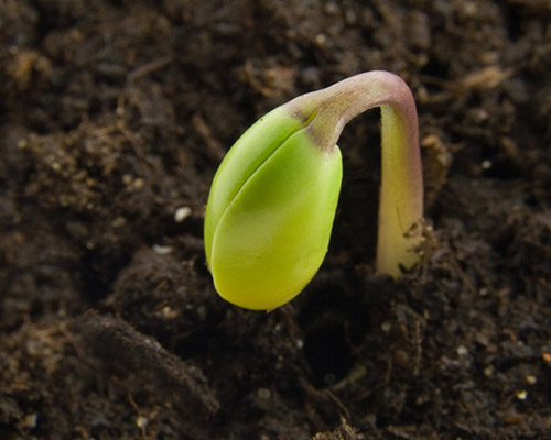 a germinating plant